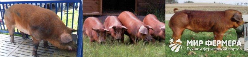 Свиньи дюрок кормление