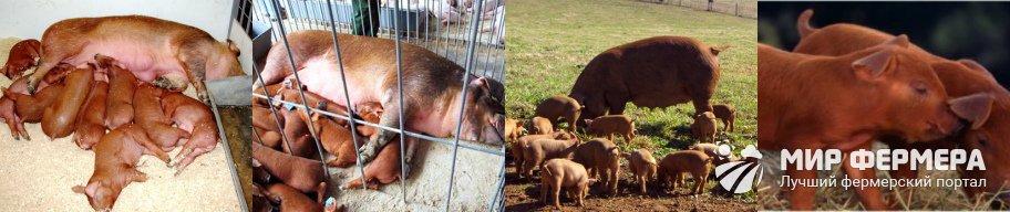 Свиньи дюрок разведение