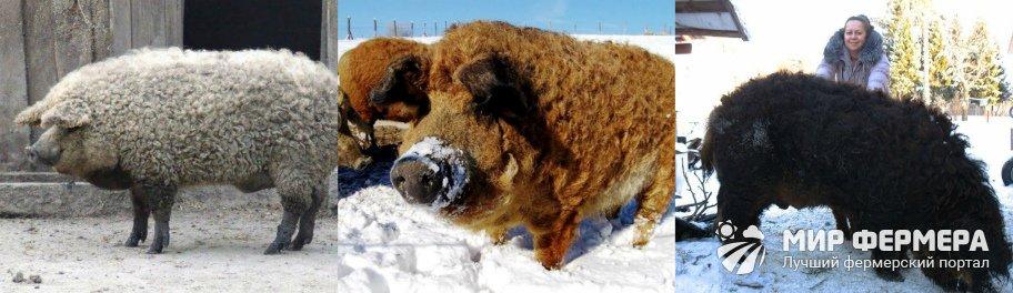 Свиньи Мангалица фото