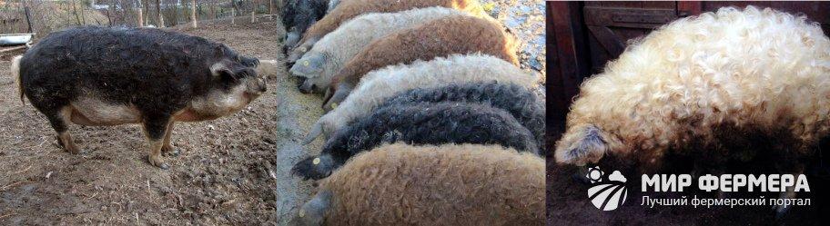 Как выглядят свиньи Мангалицы