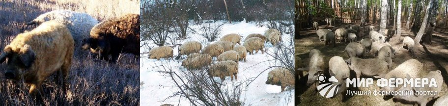 Свиньи породы Мангалица содержание