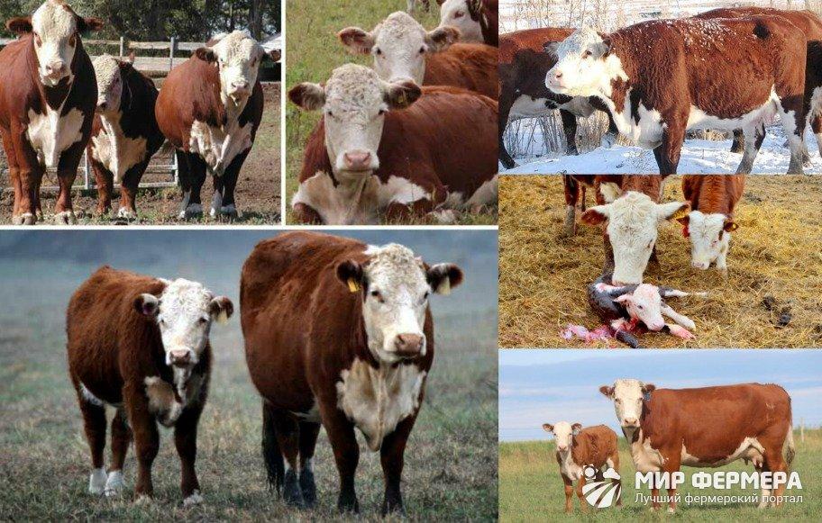 Герефордские коровы продуктивность