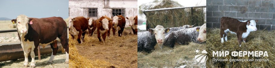 Герефордский скот содержание