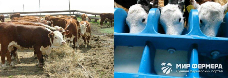 Как кормить герефордских коров