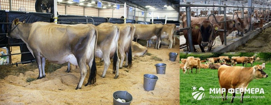 Джерсейские коровы содержание