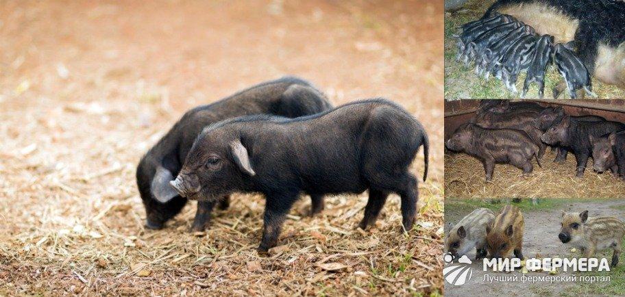 Разведение свиней кармалов