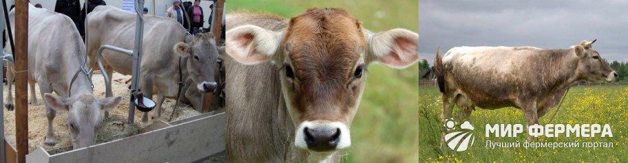 Породы коров с фото и названиями