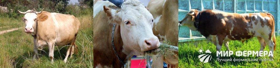 Сычевская порода коров фото