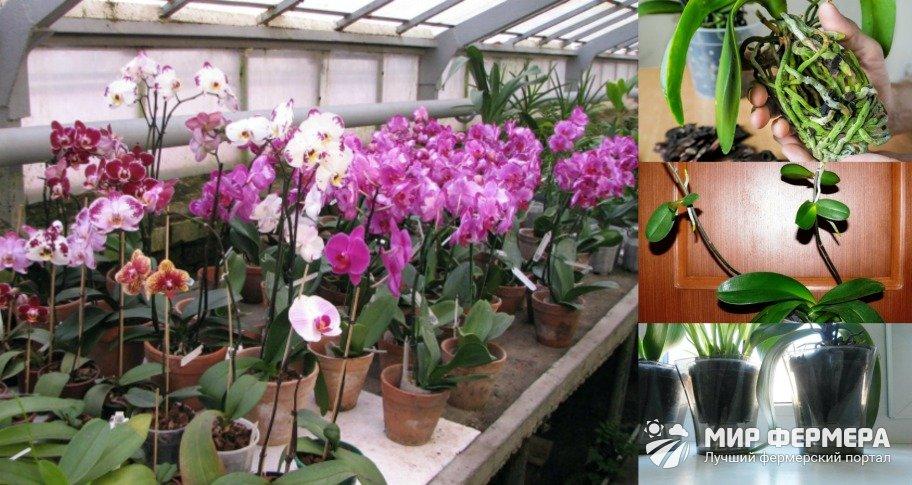 Как подготовить орхидею к зиме