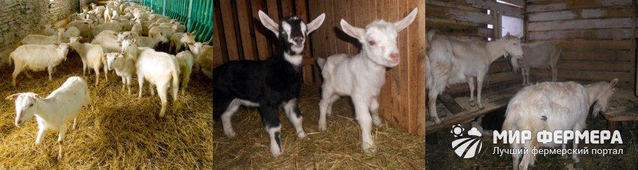 Как содержать коз зимой