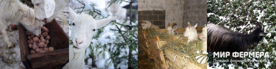 Чем кормить козу зимой