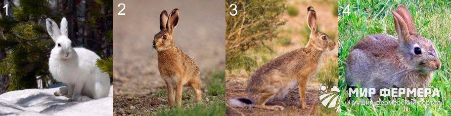 Породы диких зайцев