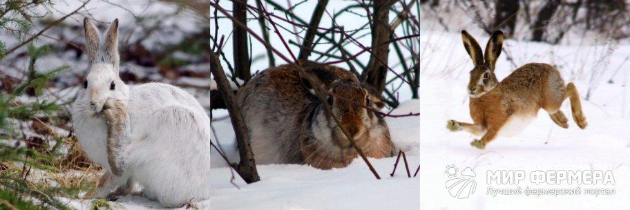 Повадки диких зайцев