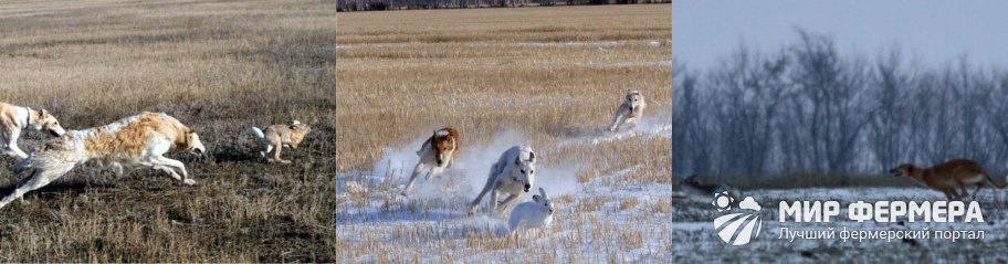 Охота на зайца с собакой