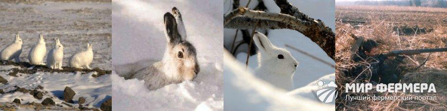 Охота на зайца из засидки
