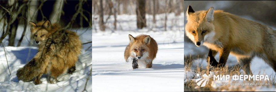 Повадки лисы зимой