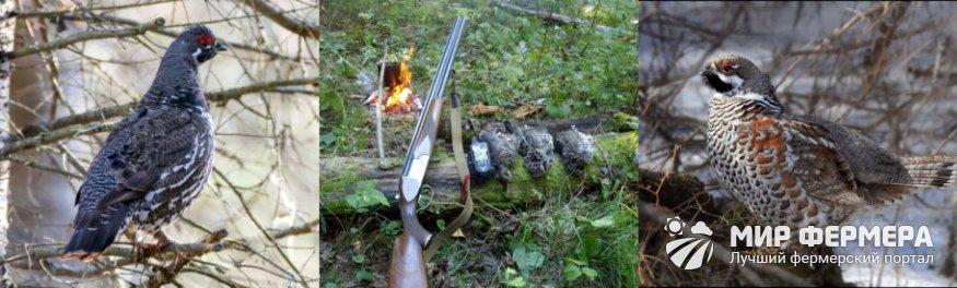 Как охотиться на рябчика