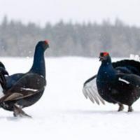 Охота на тетерева зимой: основные способы и выбор времени || Охота на тетерева зимой с пневматикой