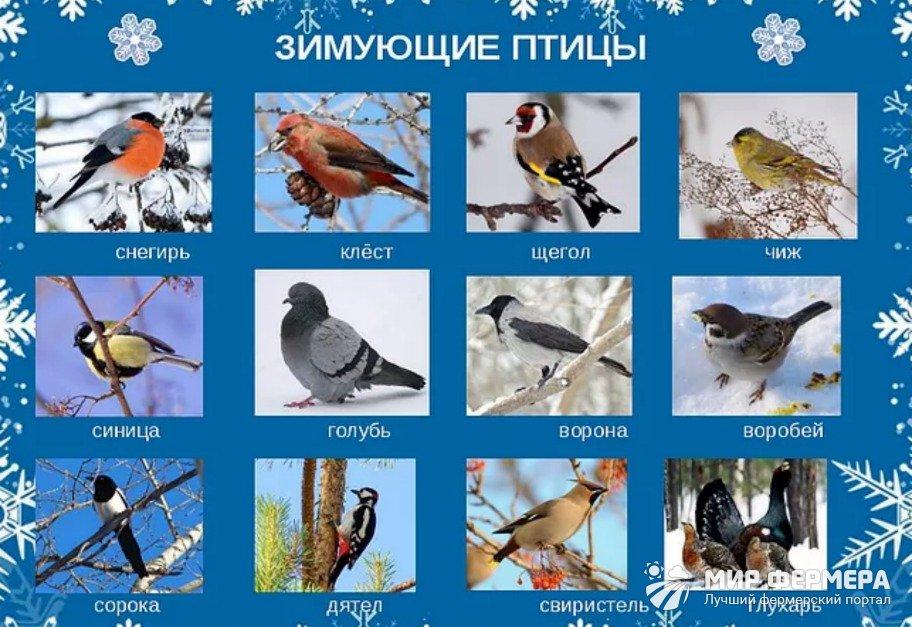 Каких птиц подкармливают зимой
