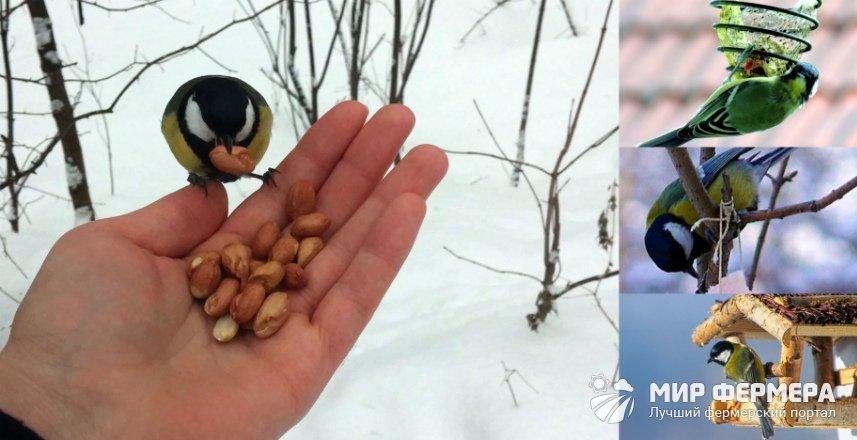 Как кормить синиц зимой