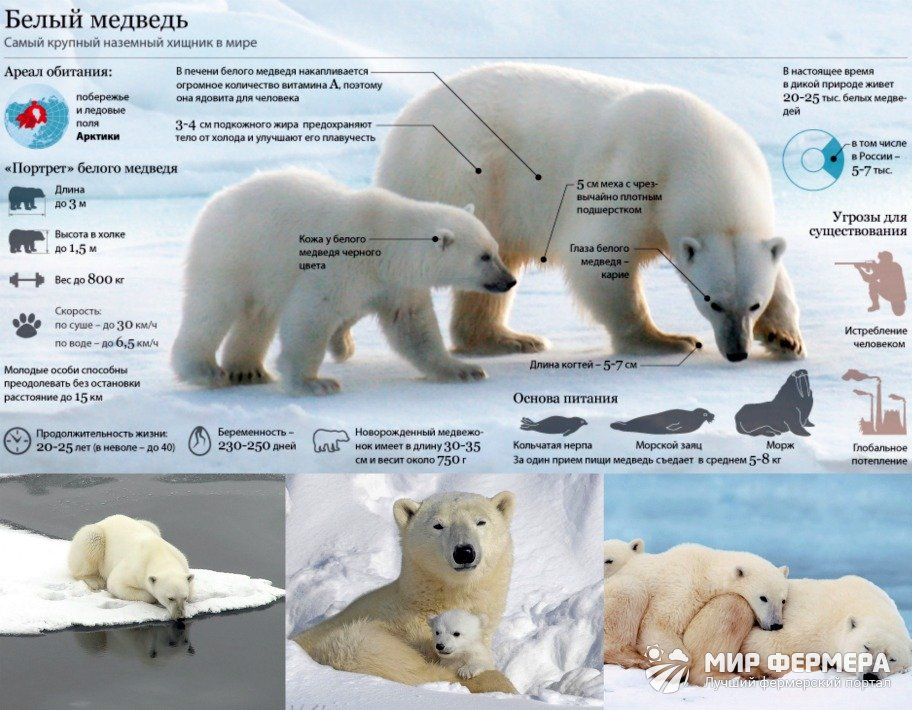 Белые медведи зимой