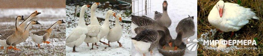 Как содержать гусей зимой