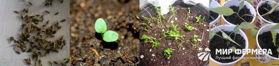 Когда собирать семена клематиса