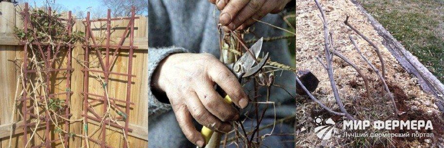 Как подготовить клематис к зиме