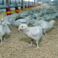 На «Евродоне» вспышка птичьего гриппа