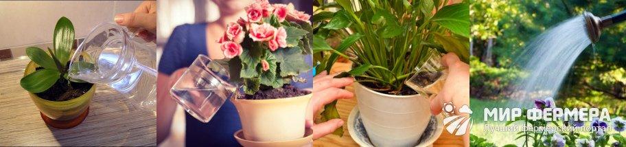 Янтарная кислота для полива цветов