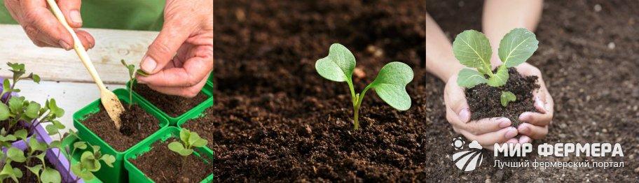 Удобрение рассады капусты