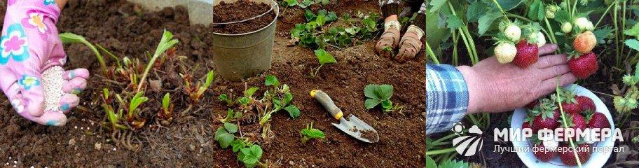 Чем удобрять рассаду клубники