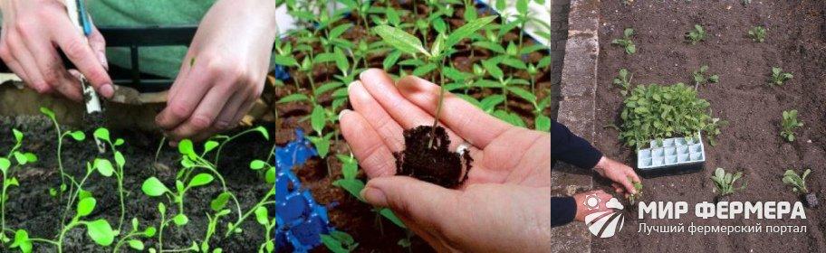Посев кларкии на рассаду