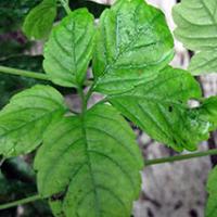 Растение гиностемма пятилистная