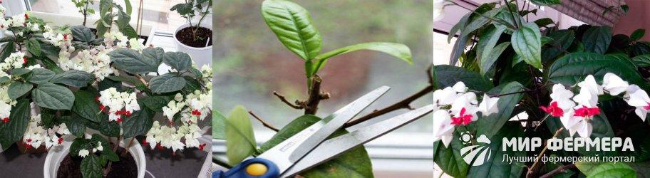 Как обрезать клеродендрум