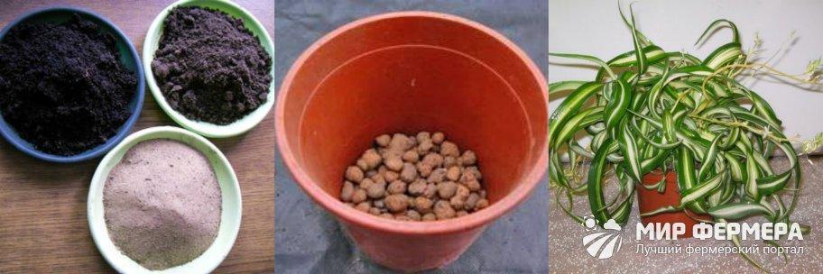 Как посадить хлорофитум