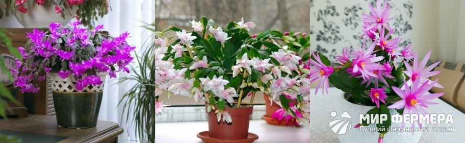 Цветок декабрист фото