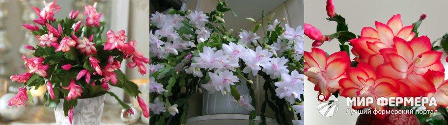 Декабрист период цветения