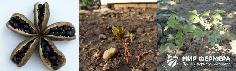 Выращивание пиона из семян