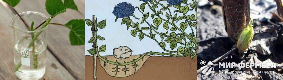 Размножение гортензии