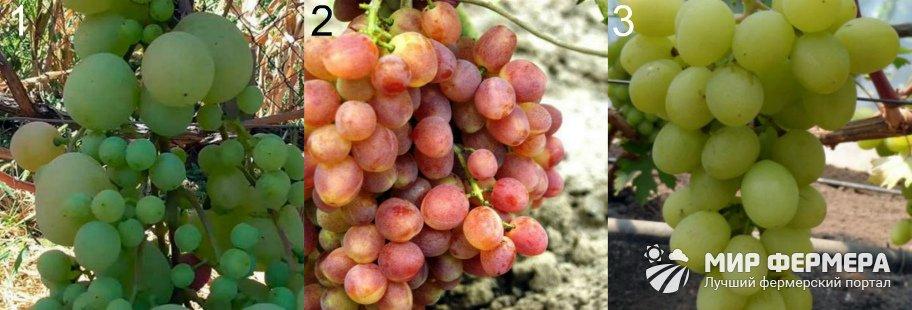 Сорта винограда Кеша