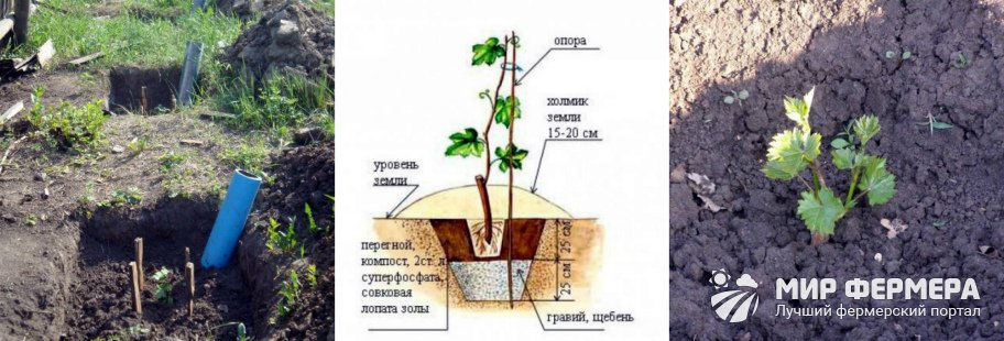 Как посадить виноград
