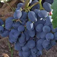 Виноград Юпитер кишмиш описание и характеристики сорта выращивание с фото