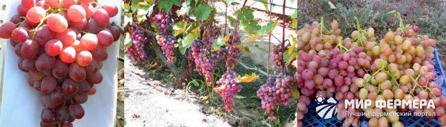 Виноград Ливия фото