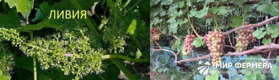 Виноград Ливия плюсы и минусы