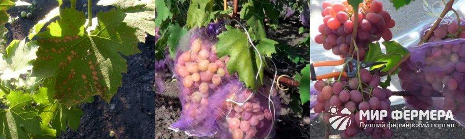 Как защитить виноград от вредителей