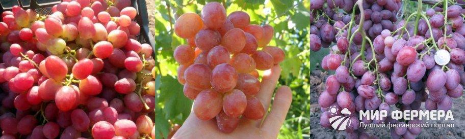Как собирают виноград