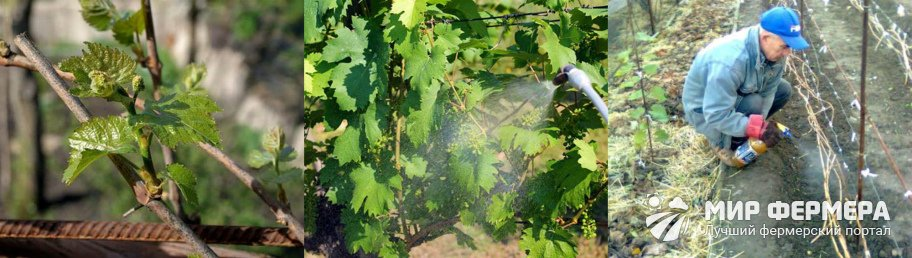 Схема опрыскивания винограда