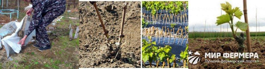Когда раскрывать виноград весной