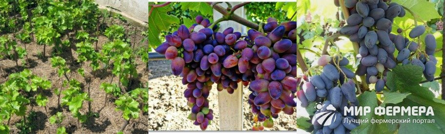 Как ухаживать за виноградом Байконур